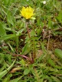 Taraxacum section erythrosperma 3