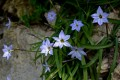 Tritéleia uniflora (Ipheion uniflorum)