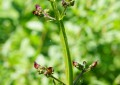 Scrophularia