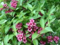 Weigelia pourpre