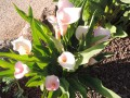 Zantedeschia sp