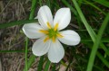 Zephyranthes candida (gros plan)