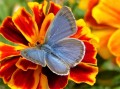 Zizina labradus (Common Grass Blue)