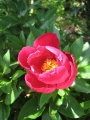 (3)pivoine officinale
