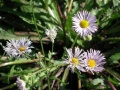 Aster maos