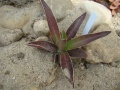 agave colimana