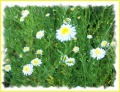 anthemis ou camomille ?
