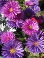 asters d'automne