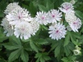 Astrantia major ou Grande Astrance.