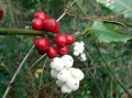 Baies rouges et blanches