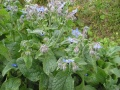 Bourrache (Borago officinalis)