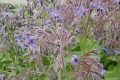 Bourrache officinale  (  Borago officinalis )