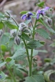 Bourrache officinale, Borago officinalis