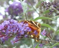 buddleia (buddleia de  David)