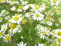 Camomillle puante -- Anthemis cotula