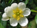 carpenteria californica hydrangéacées