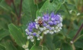 Caryopteris et son insecte