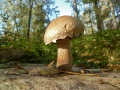 champignon Pholiote destructrice