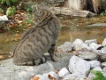 Chat sauvage d'Europe - Felis silvestris