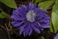 Clematis cv multi blue-new