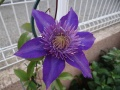 Clematis 'Richard Pennel'