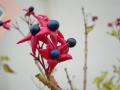 Clerodendron trichotomun
