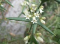 Colletia armata