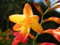 Crocosmia pepper