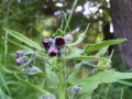 Cynoglossum officinale (Cynoglosse officinale ou langue de chien).