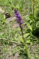 dactylorhize ou orchis ?