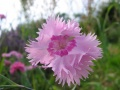 dianthus caryophyllacées