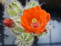 Echinocereus orange