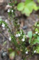 Euphraise officinale, Euphrasia officinalis.