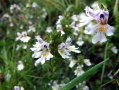Euphraise officinale (Euphrasia officinalis) plan large
