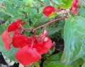 "Begonia ""Ailes de dragon"" (Dragon wings)"