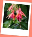Fuchsias orange