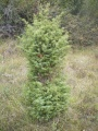 Genevrier commun - Juniperus communis