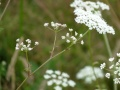Grand boucage -- Pimpinella major -- Ombelle