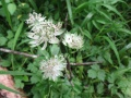 Grande Astrance, Astrantia major.