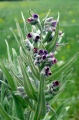 Cynoglosse officinale..