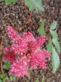 Astilbe Famille des Saxifragacées