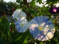 """ipomoea tricolor """" flying saucers """""""