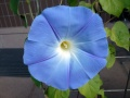 Ipomoea violacea heavenly