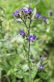 Buglosse officinale, Anchusa officinalis
