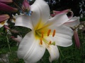Lilium Washingtonianum