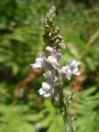Linaire striée 1/3 - linaria repens - scrophullariacées