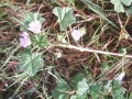 Mauve commune -- Malva neglecta
