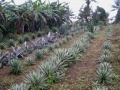 Mes Agaves (une partie)