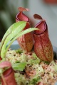 Nepenthes Ventricosa X (N.dubia X N.Singalana) - plante carnivore