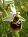 ophrys fuciflora - ophrys bourdon